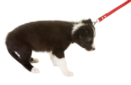 dog leash: Young border collie puppy first time on a leash Stock Photo