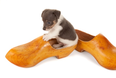 jack russel: Dutch wooden shoe with a jack russel puppy dog