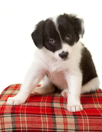border collie puppy: 5 weeks old border collie puppy with begging eyes Stock Photo