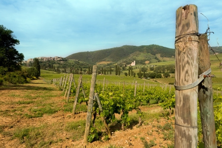 antimo: Vines growing close to San Antimo village and its Abbey in Tuscany Italy