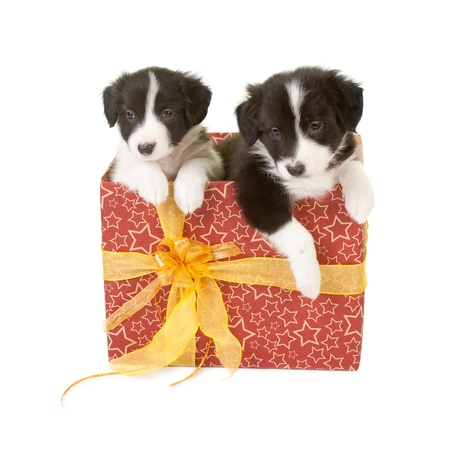 Twin border collie puppies in a christmas gift photo