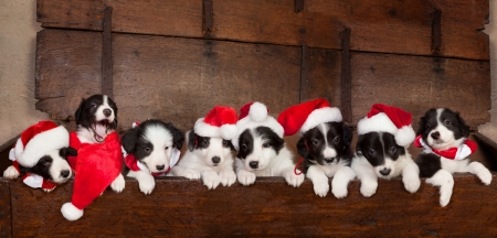 Eight little 5 weeks old border collie puppies with christmas santa hats photo