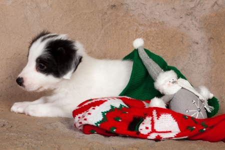 Adorable puppy sitting in a red christmas stocking photo