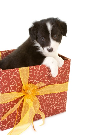 Christmas present with a cute little border collie puppy photo