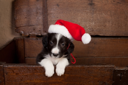 Adorable puppy wearing a santa hat in an antique wooden chest photo