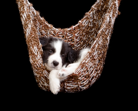 bordercollie: Sleepy border collie puppy in een bruine hangmat