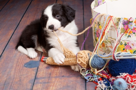 Very young puppy caught on playing with balls of wool photo