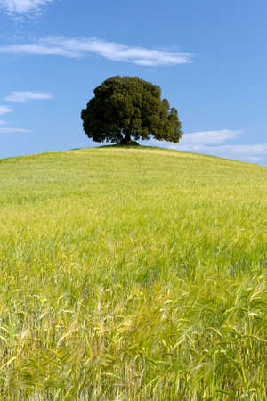 Large single oak tree standing on a hill in a wheat field in Tuscany photo