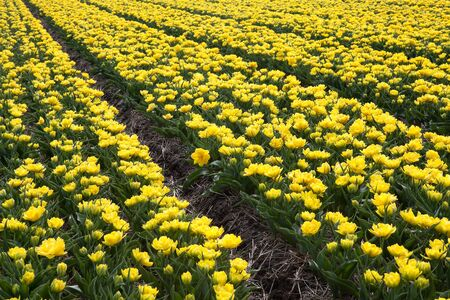 Famous Dutch bulb fields with millions of tulips in Holland Stock Photo - 17218714