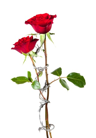 Forbidden love symbolised by barbed wire curling around two roses photo