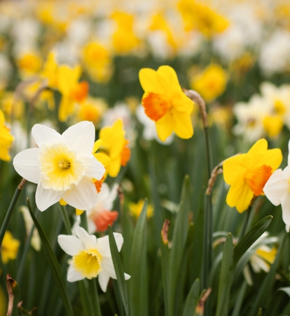 Abundance of daffodils growing on a flowerbed in springtime Stock Photo - 17218699