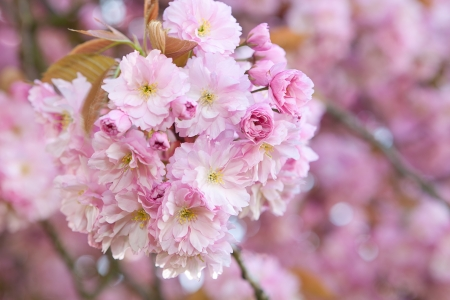 Soft pastel pink springtime blossoms in an orchard Stock Photo - 17218708