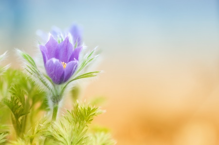 Beautiful purple little furry pasque-flower with plenty of copy space Stock Photo - 17218701