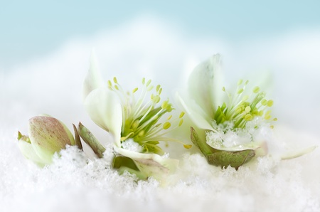 Petals of Helleborus or Christmas rose peeping out of the snow Stock Photo - 17218695