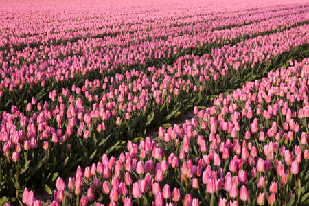 Famous Dutch bulb fields with millions of tulips in Holland Stock Photo - 17346561