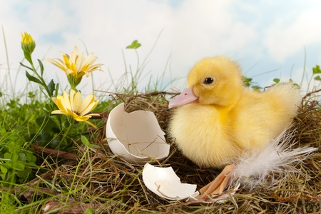 Easter duckling on its nest with flowers and broken eggshells Stock Photo - 17346557
