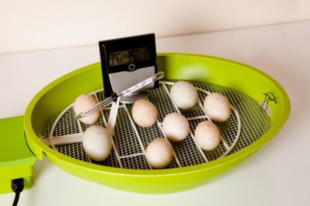 brooder: Duckling eggs lying in an open incubator with hygrometer to check humidity