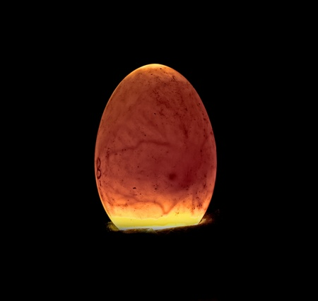 brooder: 5 days old egg being candled.  The air pocket, veins and the chicks eye are clearly visible.