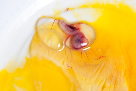 animal cruelty: Embryo of a duckling or chick 9 days after incubation, the eye is clearly visible (no animal cruelty done for this image). Stock Photo