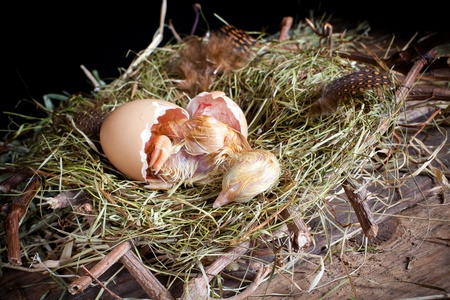 Last effort of a little yellow chick hatching Stock Photo - 17346565