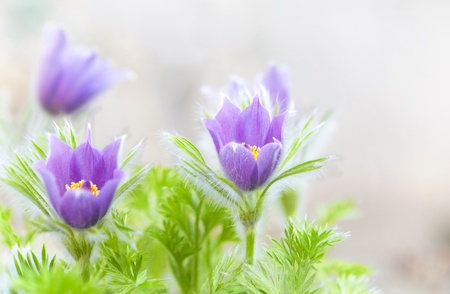 Pastel purple furry pasque flowers with shallow depth of field Stock Photo - 17346553