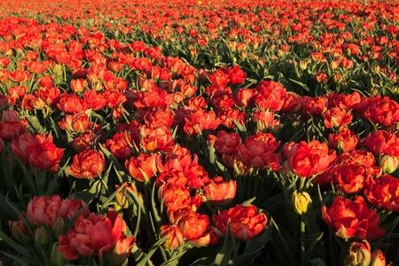 bloembollenvelden: Beroemde Nederlandse bollenvelden met miljoenen tulpen in Nederland Stockfoto