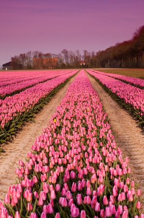 Famous Dutch bulb fields with millions of tulips in Holland Stock Photo - 17475108