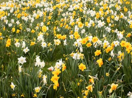 Field of daffodils as a huge sprintime garden