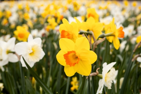 Closeup of one daffodils in front of thousands of others Stock Photo - 17475109