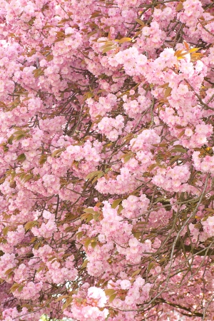 Ceiling filled with pink pastel blossom flowers Stock Photo - 17475101