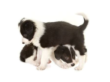 Playful 5 weeks old border collie puppies in a laundry basket Stock Photo - 17475094