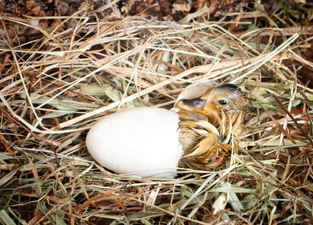 Hatching little mallard duckling from its egg photo