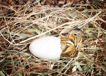 Hatching little mallard duckling from its egg Stock Photo - 17623357