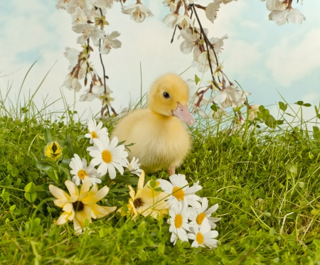 Springtime easter photo with flowers and a duckling Stock Photo - 17779414