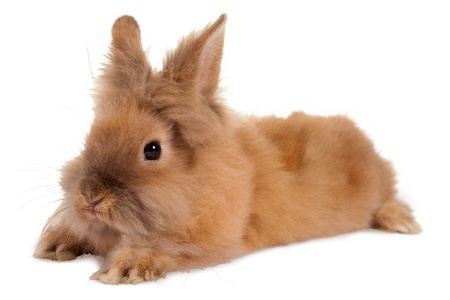 Fluffy little brown baby rabbit on a white background Stock Photo - 17779395