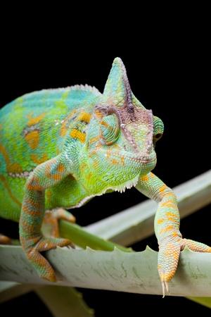 Yemen or Veiled Chameleon sitting on a cactus leaf Stock Photo - 17779410