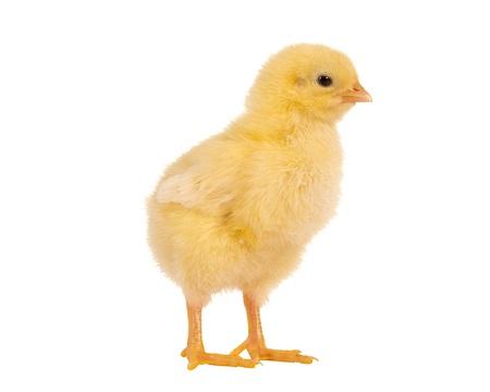 Weiche gelbe kleine Ostern Küken auf einem weißen Hintergrund Standard-Bild - 17779428
