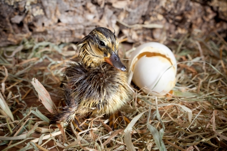 Little duckling newly hatched drying its feathers Stock Photo - 17779461