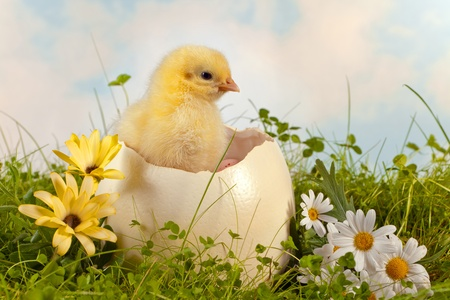 ostrich chick: Little easter chick hatching from a big ostrich egg in the garden Stock Photo