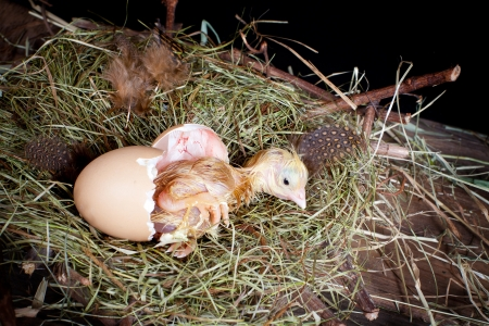 baby chick: Little baby chick hatching from its egg