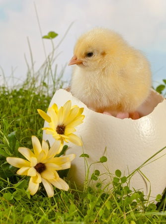 ostrich chick: Fluffy easter chick hatching from a big ostrich egg on grass Stock Photo