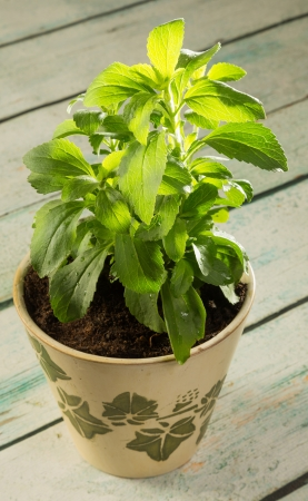 sweetening: Small stevia plant growing in a rustic clay pot