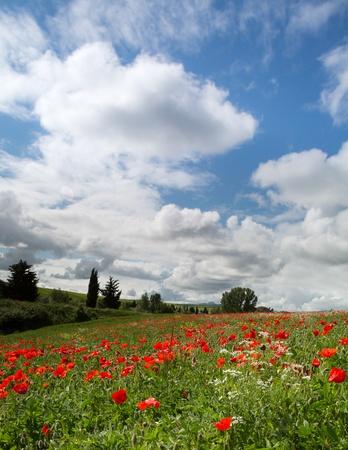 Blue sky over a poppy field in Tuscany near Pienza in Italy Stock Photo - 18976772