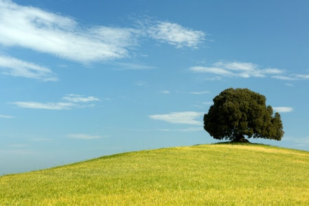 Single oak tree standing in a Tuscan wheat field on a hill photo