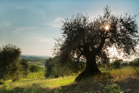Nice sunflare in an old olive tree with view on the hills of Tuscany near Pienza photo
