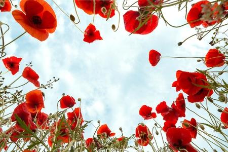 Bug's visie op de camera liggend in een poppy veld en op zoek naar de hemel Stockfoto