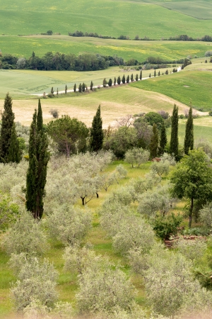 Olive grove and cypress trees on the rolling hills of Tuscany near Montepulciano Stock Photo - 19656568
