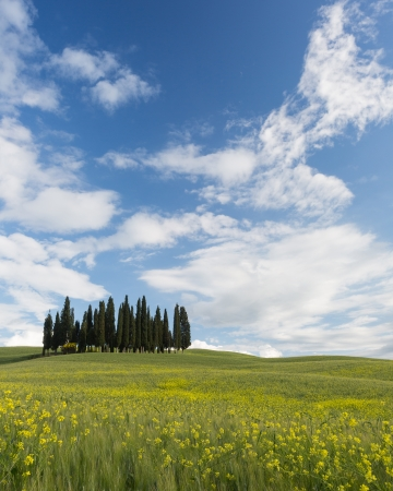 san quirico d'orcia: Famous Tuscan cypress trees on top of a hill with wheat and flowers