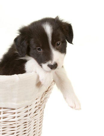 Newborn 5 week old border collie puppy in a laundry basket photo