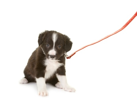 Sheepdog puppy of 5 weeks old on a red leash photo